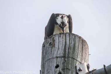 Osprey_14
