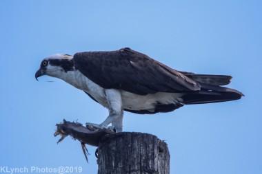 Osprey_20