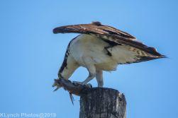 Osprey_35