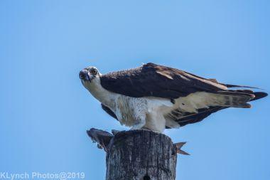 Osprey_42
