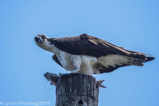 Osprey_44