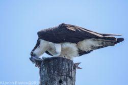 Osprey_51