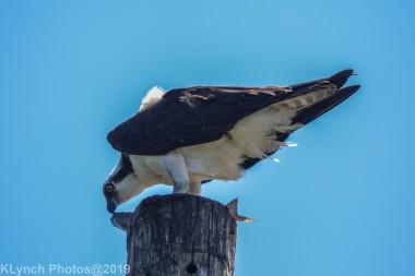 Osprey_53