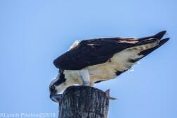 Osprey_57