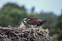 Osprey_60