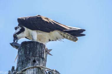 Osprey_64