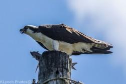 Osprey_68