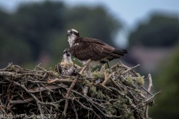 Osprey_73