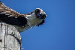 Osprey_74