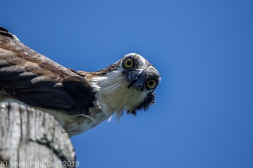 Osprey_75