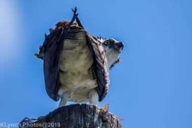 Osprey_77