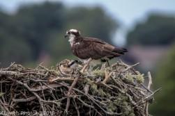 Osprey_78