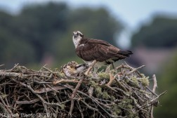 Osprey_80