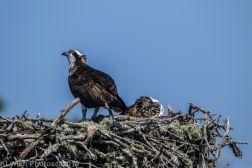 Ospreys_16