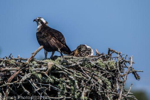 Ospreys_19