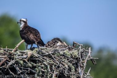 Ospreys_21
