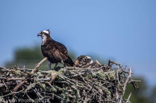 Ospreys_22