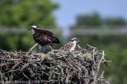 Ospreys_23