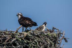 Ospreys_25