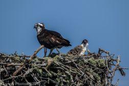 Ospreys_27