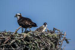 Ospreys_28
