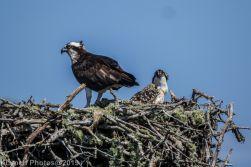 Ospreys_29