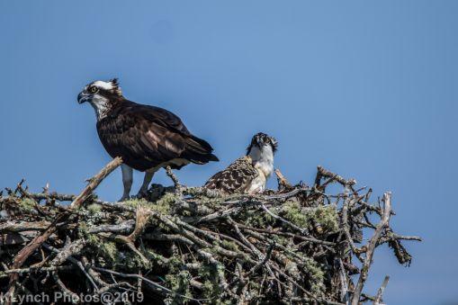 Ospreys_30