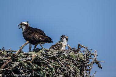 Ospreys_32