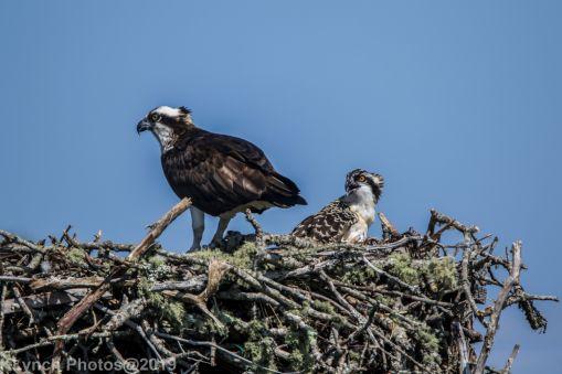 Ospreys_33