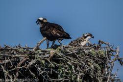 Ospreys_34