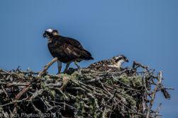 Ospreys_35