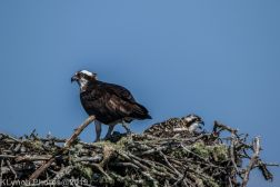 Ospreys_36