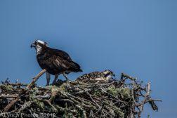 Ospreys_37