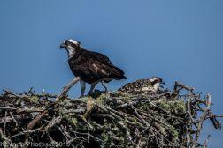 Ospreys_38