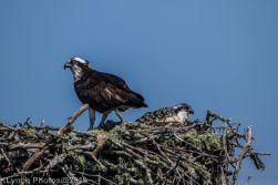 Ospreys_39