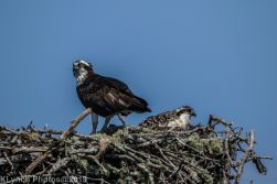 Ospreys_40