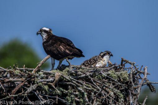 Ospreys_41
