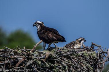 Ospreys_42