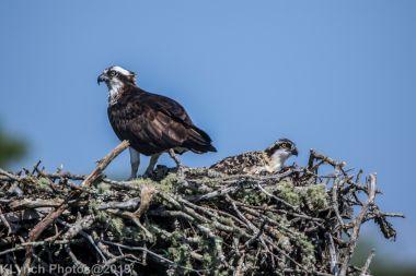 Ospreys_43