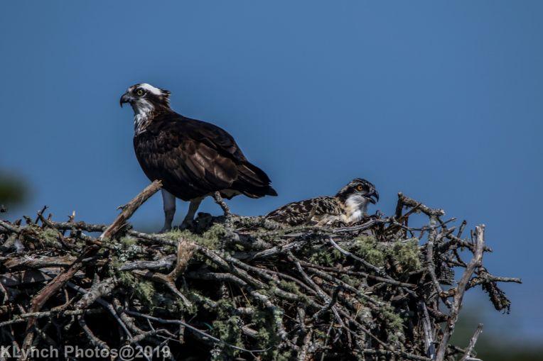 Ospreys_44