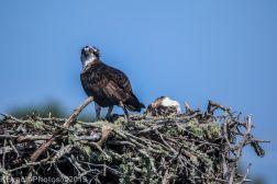 Ospreys_5