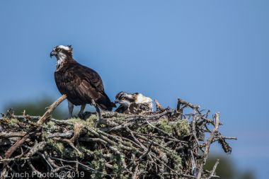 Ospreys_9