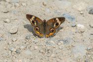 Butterfly_6
