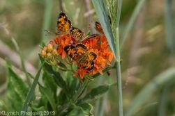 Butterfly_7