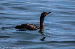 Cormorant_18