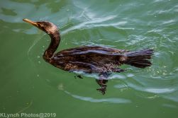 Cormorants_1