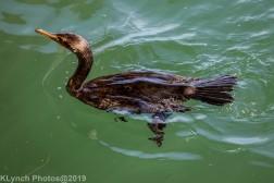Cormorants_1