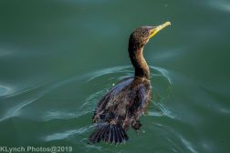 Cormorants_3
