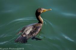 Cormorants_4
