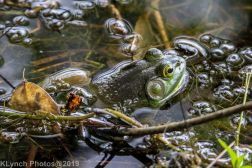 Frogs_3